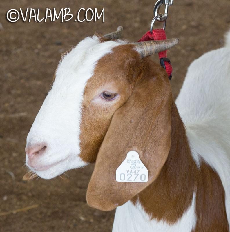 goatc