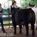 Showing a Steer
