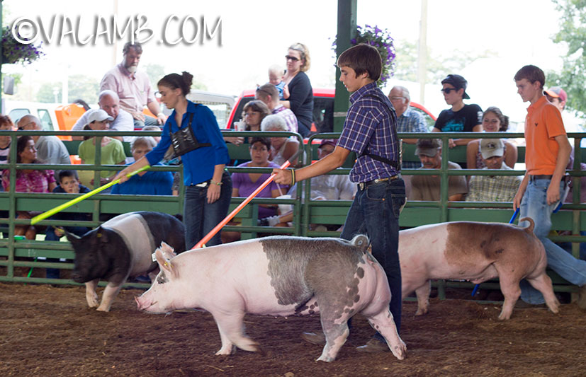 Showing Market Pigs