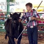 Showing his Commercial Heifer